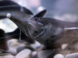 В северском рыбохозяйстве снова произошел массовый мор рыбы