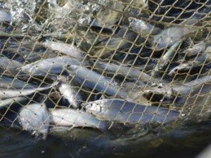 В рыбохозяйственном комплексе за 15 минут погибло больше восьми миллионов мальков пеляди