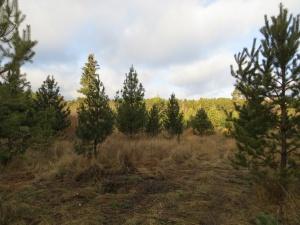 В Курлеке будет возрожден кедровый парк (фото)